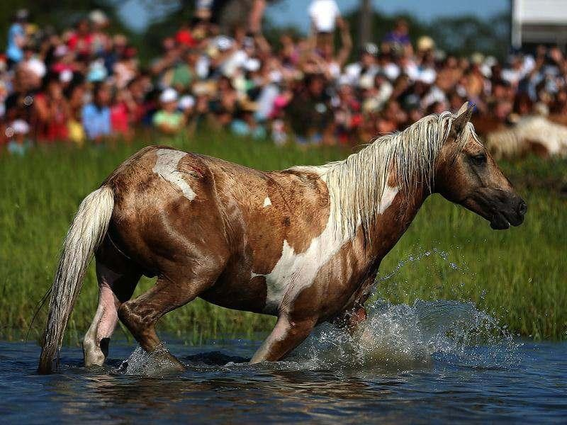 A wild pony takes a break after swiming the the Assateague Channel for their annual swim to Chincoteague Island in Chincoteague, Virginia. AFP
