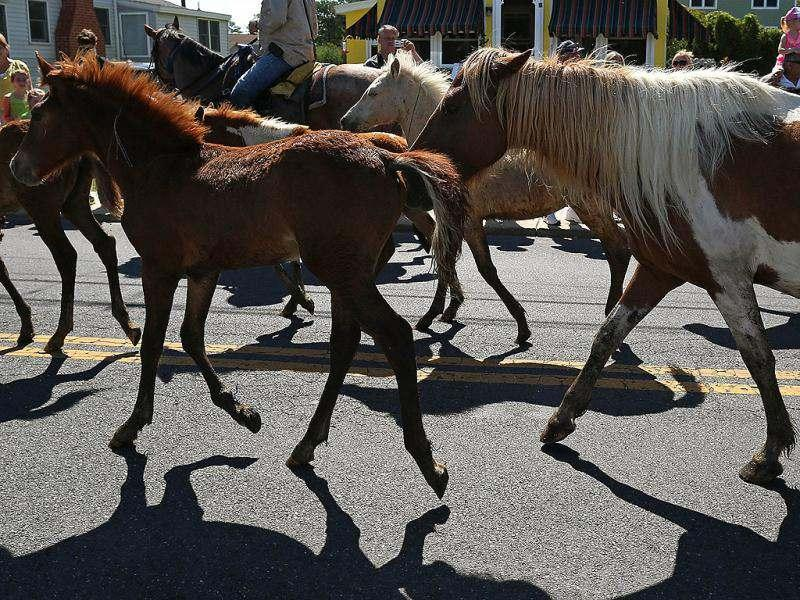 Wild ponies are herded down main street to the fair grounds after swiming the the Assateague Channel for their annual swim to Chincoteague Island. AFP