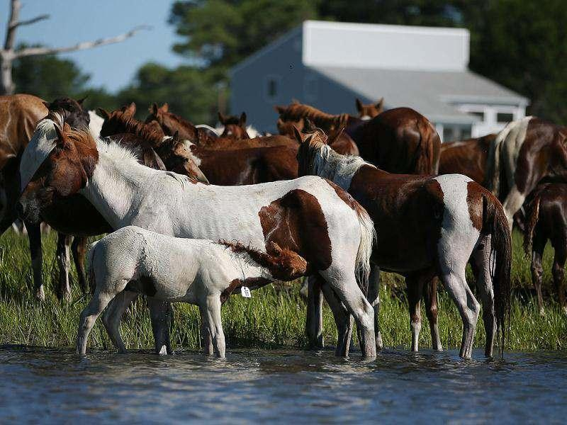 Wild ponies are herded into the Assateague Channel to for their annual swim to Chincoteague Island. AFP