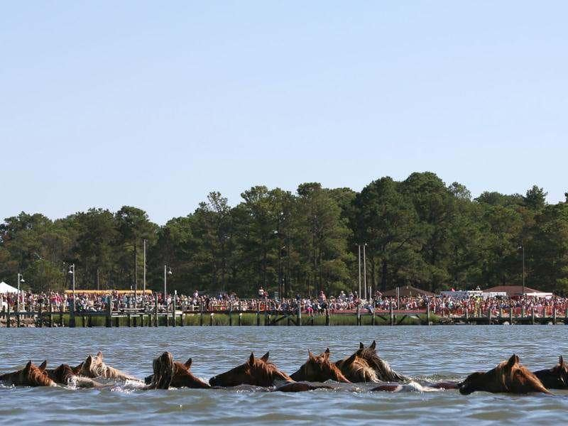 Wild ponies are herded into the Assateague Channel to for their annual swim to Chincoteague Island. Every year the wild ponies are rounded up to be auctioned off by the Chincoteague Volunteer Fire Company. AFP