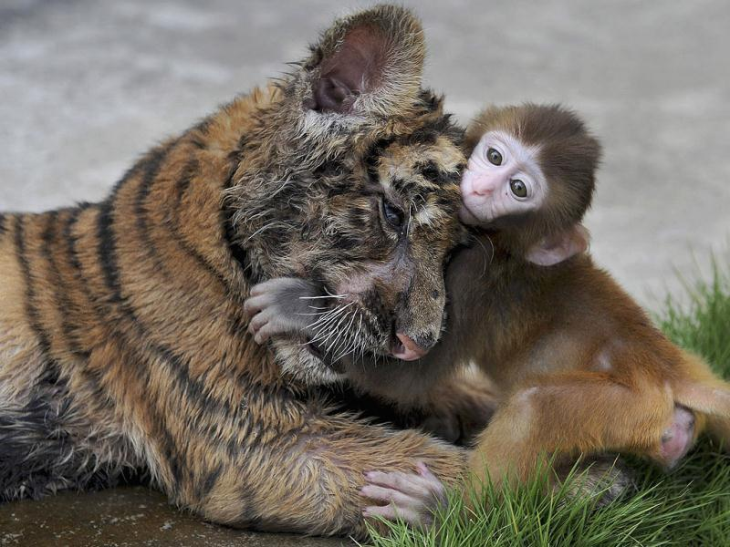 A baby rhesus macaque (Macaca mulatta) plays with a tiger cub at a zoo in Hefei, Anhui province. Reuters Photo