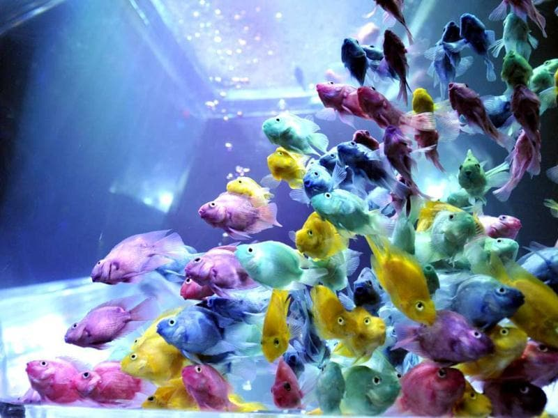 Colorful goldfish swim in a tank as part of an art exhibition 'Art Aquarium' during a press preview in Tokyo. AFP Photo/Yoshikazu Tsuno
