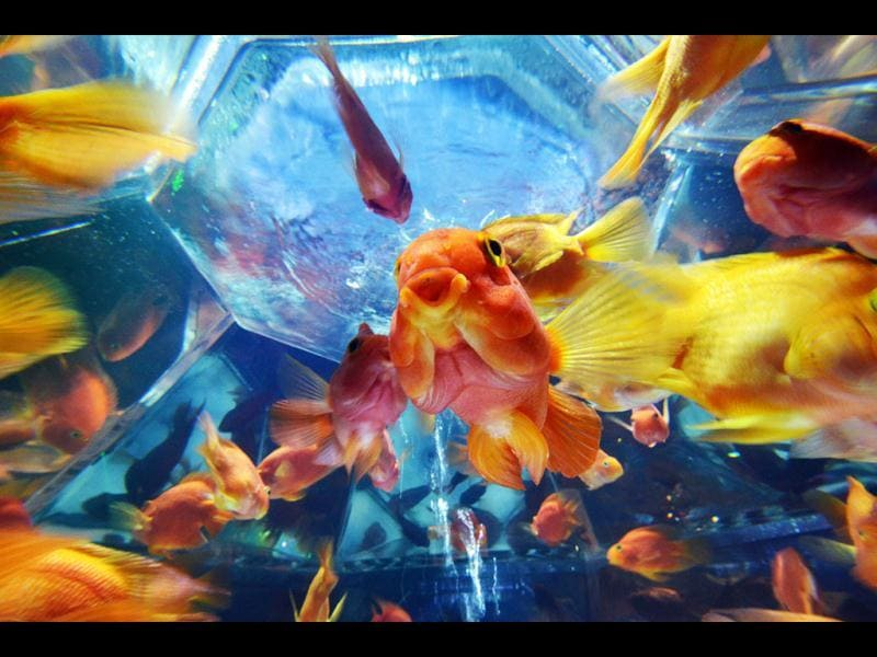 Goldfish swim in a tank as part of an art exhibition 'Art Aquarium' during a press preview in Tokyo. AFP Photo/Yoshikazu Tsuno