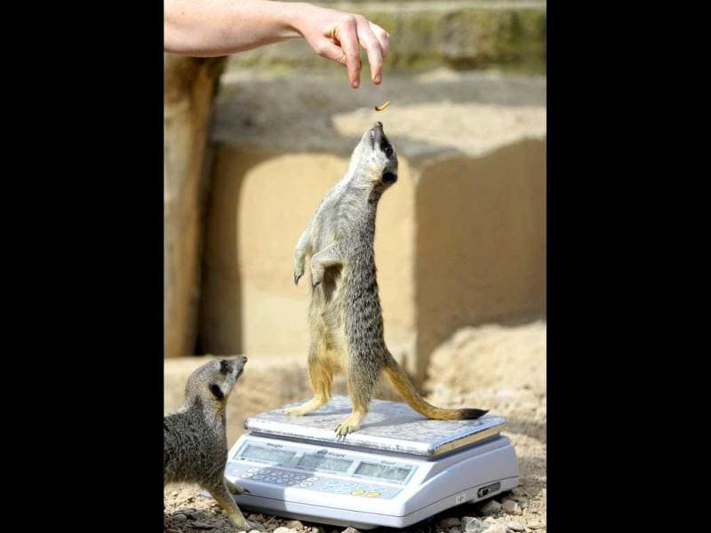 A meerkat stands up on a weighing machine at London Zoo during the annual weighing and measuring of the animals at the zoo. AP/Alastair Grant