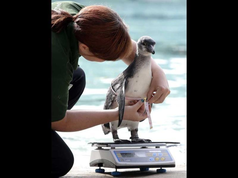 A keeper at London Zoo attempts to weigh and measure a Humboldt penguin, in London. AP/Alastair Grant