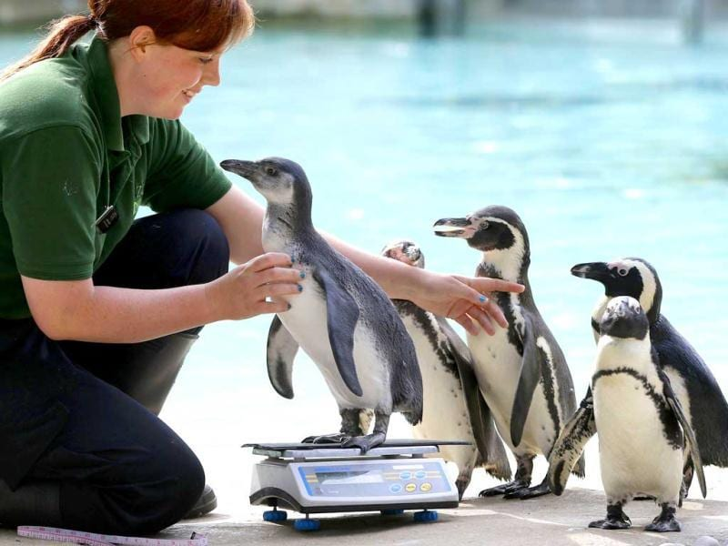 Vicki Fyson, keeper at London Zoo, attempts to weigh a Humboldt penguin. AP/Alastair Grant