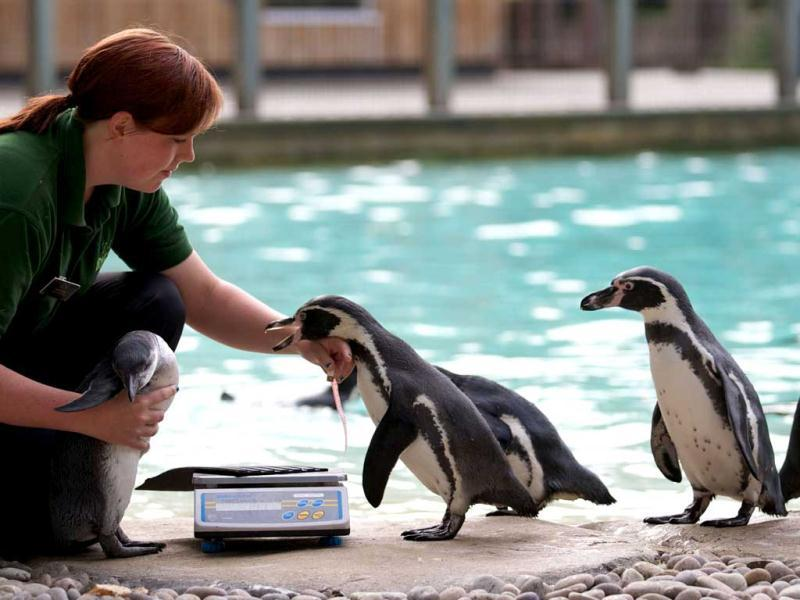 A zookeeper measures and weighs penguins during the annual weigh-in at London Zoo. AFP/Andrew Cowie