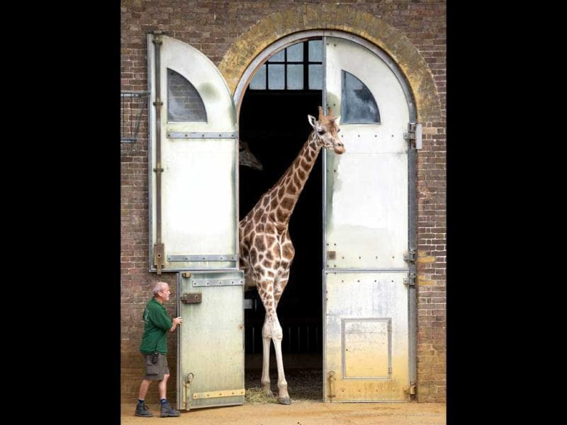 A giraffe walks out of its enclosure during the annual weigh-in at London Zoo. AFP/Andrew Cowie