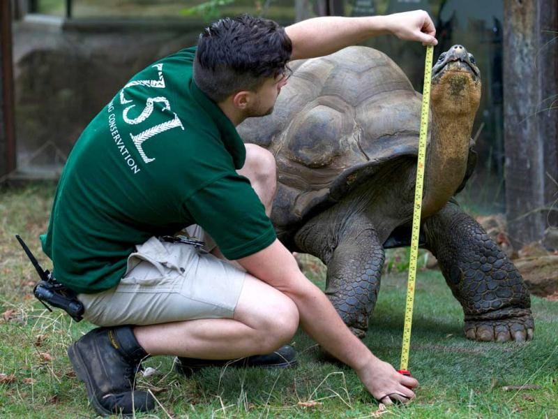 A zookeeper measures Dirk the giant tortoise during the annual weigh-in at London Zoo. AFP/Andrew Cowie