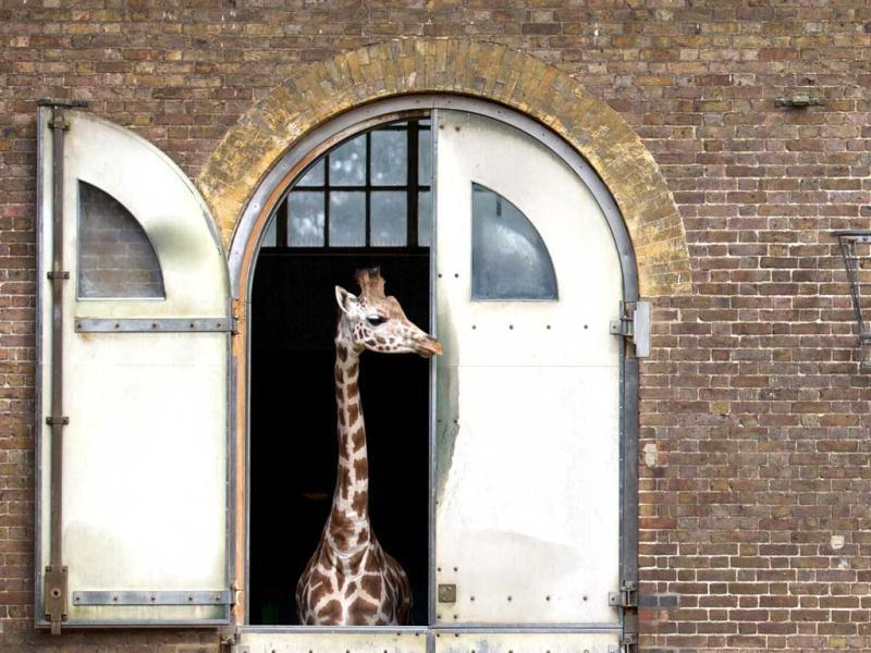 Two giraffes look at each other from the windows of their enclosure during the annual weigh-in at London Zoo. AFP/Andrew Cowie