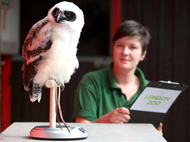 Elton the spectacled owl sits on a scale at London Zoo as zookeepers weigh and measure the animals for their annual weigh-in in London. AFP/Andrew Cowie