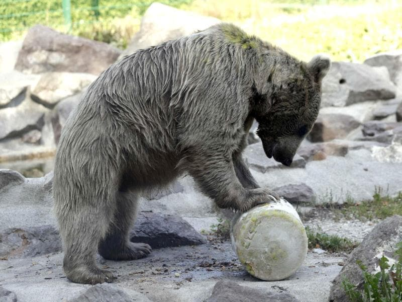 Martine, a nine-year-old female bear, enjoys a fruit ice cream during the heat wave at the Zoo in Servion, near Lausanne. (Reuters)