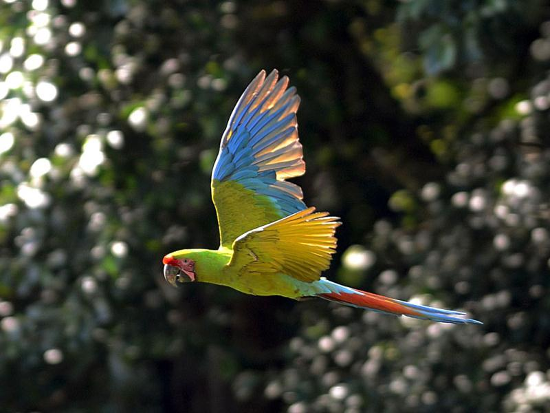 A Green Macaw (Lapa Verde) flies in the mountains near Manzanillo Beach, 280 km east of San Jose. AFP photo