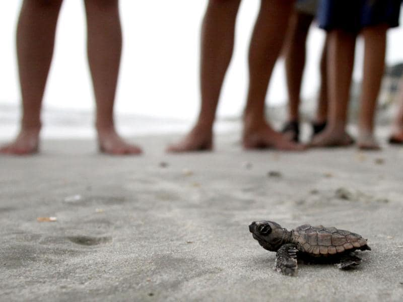 A loggerhead turtle hatchling makes it's way to the surf, as tourists and volunteers look on, at South Litchfield Beach.