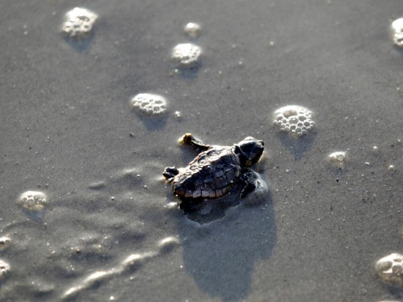 A Loggerhead turtle hatchling makes its way to the surf at Myrtle Beach State Park in Myrtle Beach.