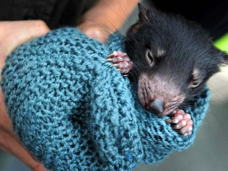 A Tasmanian devil is wrapped in a blanket by wildlife personnel while displayed at Martin Place public square in Sydney's central district. AFP/ Romeo Gacad