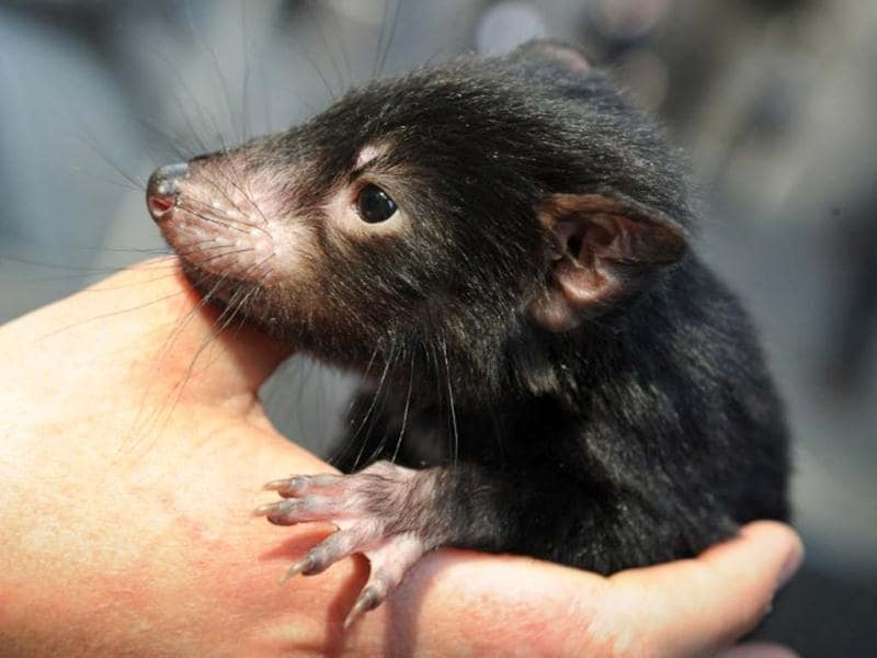 A Tasmanian devil is displayed by wildlife personnel at Martin Place public square in Sydney. AFP/Romeo Gacad