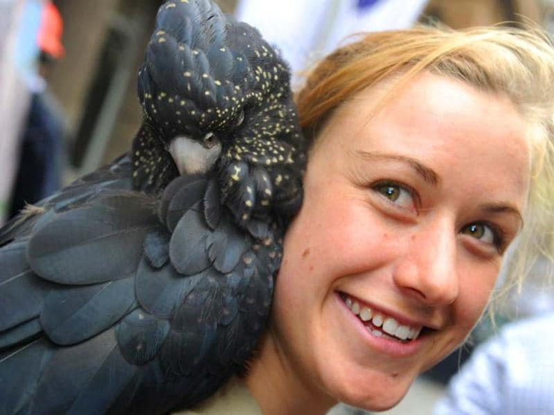 A red-tailed black cockatoo is displayed by Kylie Hackshall, a wildlife personnel at Martin Place public square in Sydney. AFP/Romeo Gacad