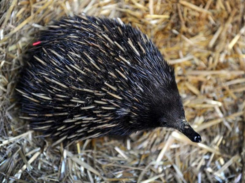 An echidna is displayed by wildlife personnel at Martin Place public square in Sydney. AFP/Romeo Gacad