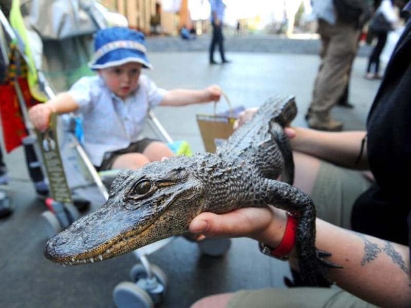 A child looks at a young American alligator displayed by wildlife personnel at Martin Place public square in Sydney. AFP/Romeo Gacad