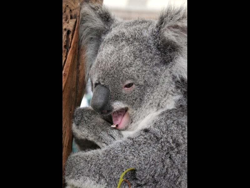 A koala is perched on a tree branch while displayed in a booth at Martin Place public square in Sydney. AFP/Romeo Gacad