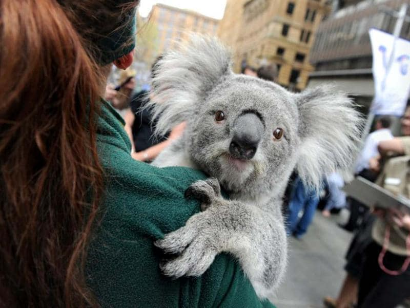 A koala is handled by a wildlife personnel at Martin Place public square in Sydney. AFP/Romeo Gacad