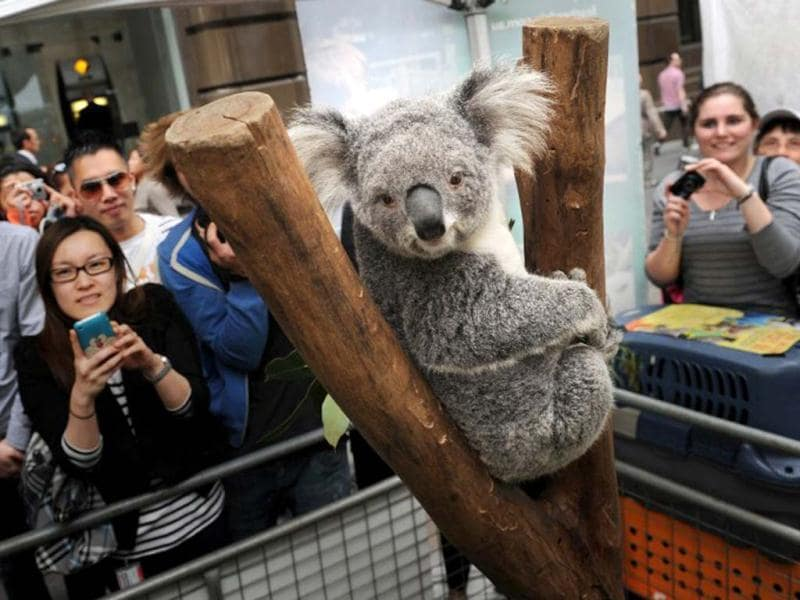 Visitors look at a koala displayed in a booth at Martin Place public square in Sydney. AFP/Romeo Gacad