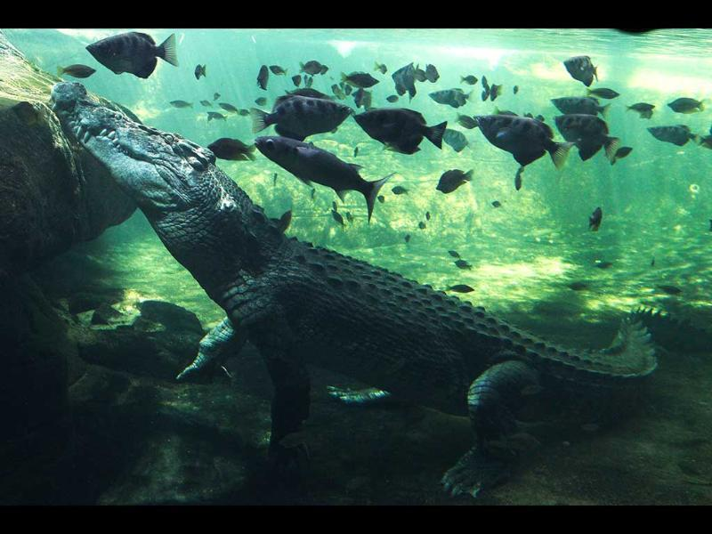 A 700kg (0.7 ton) crocodile called Rex calmly waits just beneath the water for a feed after coming out of a three-month hibernation at the Wild Life Sydney zoo in Sydney, Australia. AP Photo/Rob Griffith