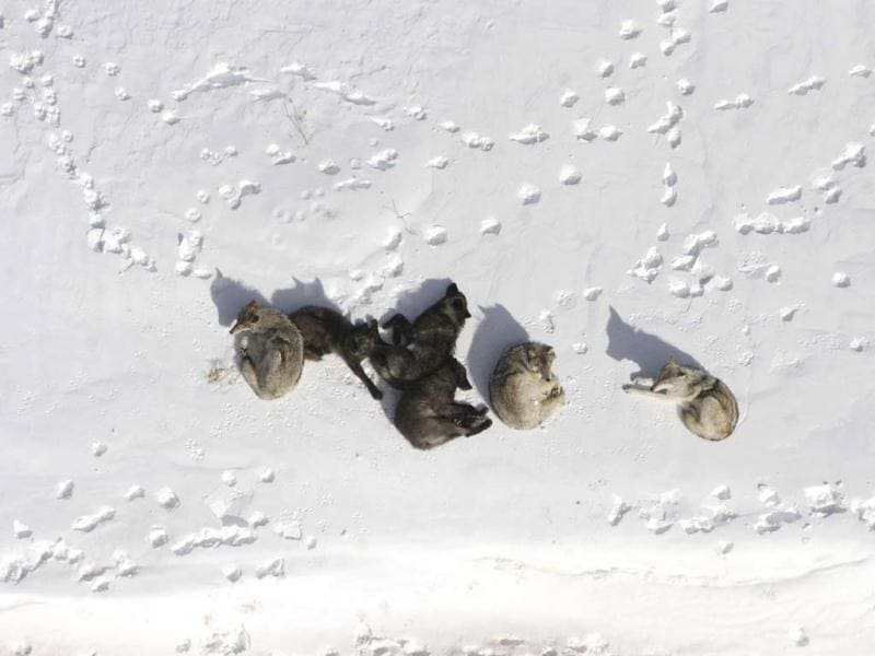 A wolf pack is pictured bedded down in the snow in Yellowstone National Park in this file photograph. Conservationists have asked a state judge to end trapping of wolverines in Montana at a time when fewer than 300 of the elusive animals roam the Northern Rockies and Northern Cascades. Reuters photo