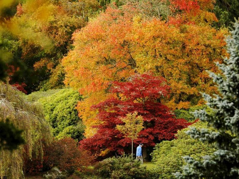 A man walks past changing autumn leaves in Sheffield Park Gardens near Haywards Heath in southern England. Reuters Photo