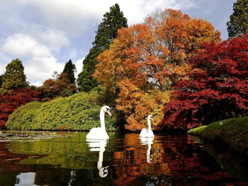 Swans swim past changing autumn leaves in Sheffield Park Gardens near Haywards Heath in southern England. Reuters Photo
