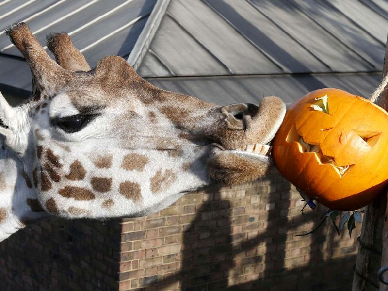 Maggie, a giraffe plays with a carved pumpkin during a Halloween-themed media event at the London Zoo. REUTERS/Suzanne Plunkett
