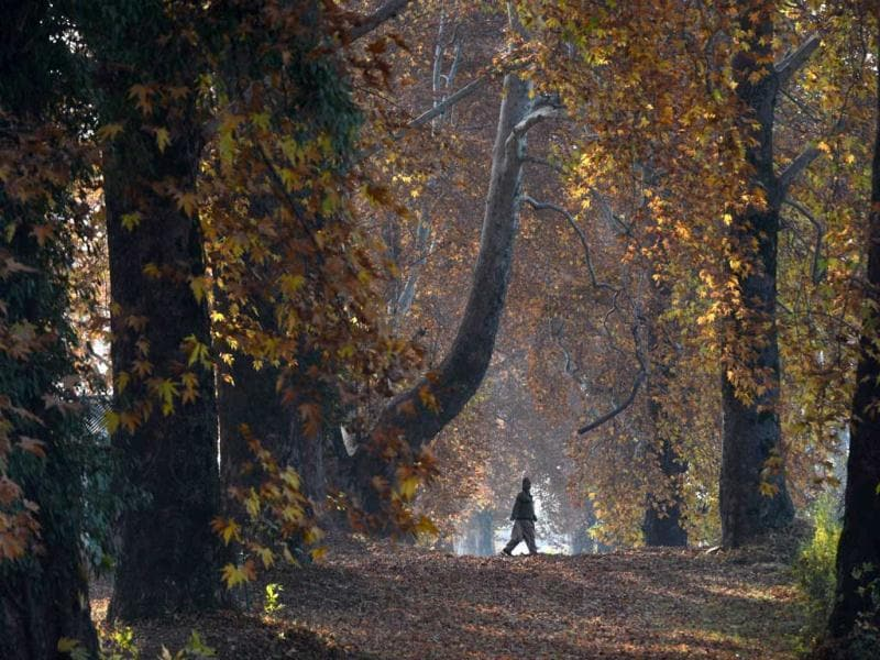 A man carries leaves near maple trees during autumn in Srinagar. Trees are changing colours while the days become shorter as winter approaches in J&K. AFP Photo