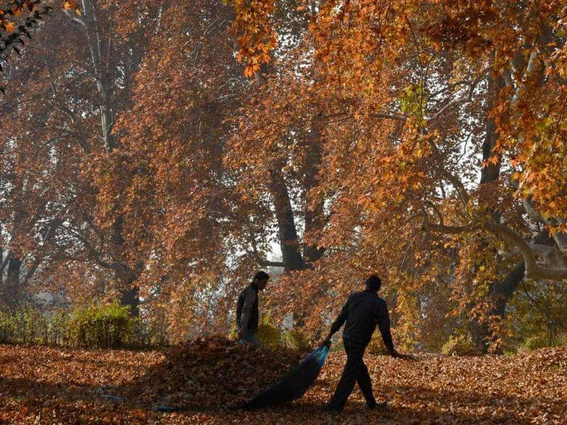 Men carry leaves near maple trees during autumn in Srinagar. Trees are changing colours while the days become shorter as winter approaches in J&K. AFP Photo