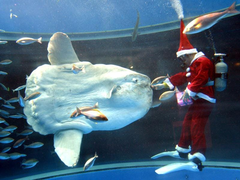 A diver wearing a Santa Claus costume feeds a sunfish during a Christmas show at the Hakkeijima Sea Paradise aquarium in Yokohama, suburban Tokyo. The show will be held daily to attract visitors until Christmas Day. AFP/Yoshikazu Tsuno