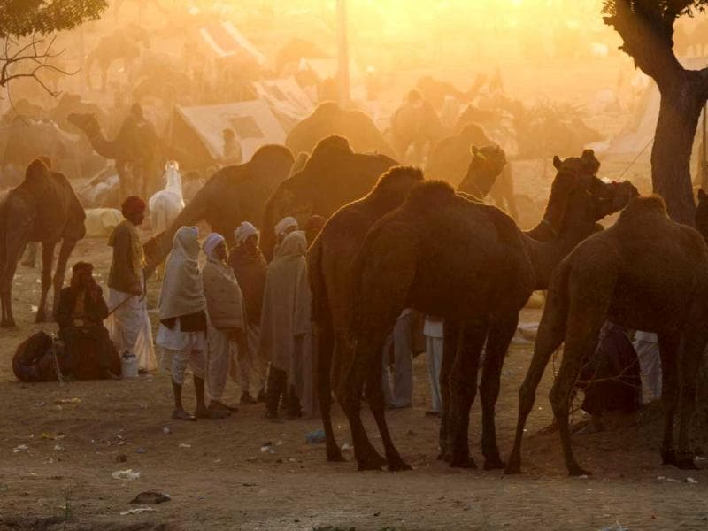 A group of villagers look at camels before buying at the annual Pushkar Fair in Pushkar, Rajasthan. AP