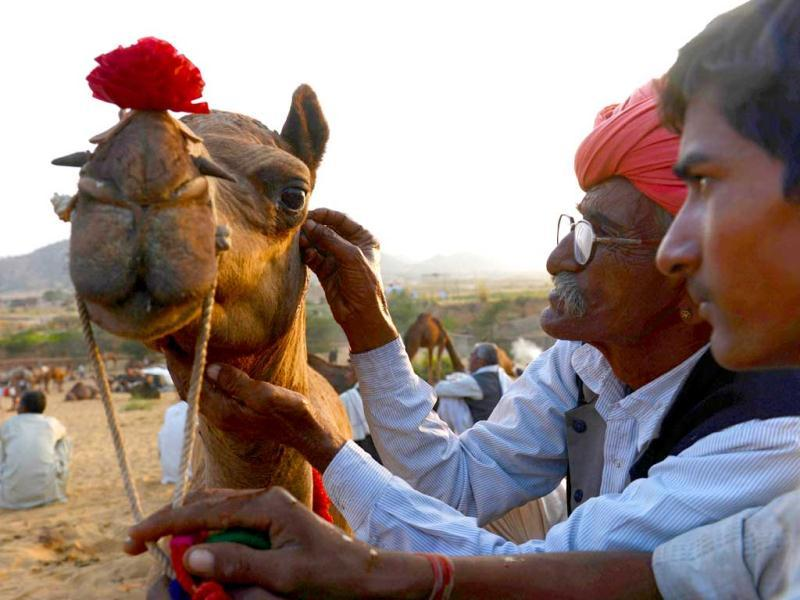 A camel owner holds his animal steady as another gives the camel a shave in the form of a circle at the fair grounds in the outskirts of Pushkar. AFP