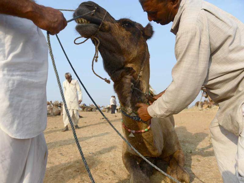 A camel owner holds his animal steady as another gives the camel a hair trim at the fair grounds in the outskirts of Pushkar. AFP