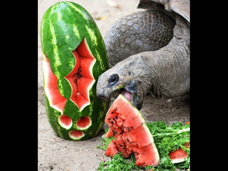 Lance, an Aldabra Tortoise eats water melon at Taronga Zoo in Sydney. In the lead up to Christmas a selection of the zoo animals were challenged with Christmas-themed environmental enrichment activities. AFP PHOTO / Greg WOOD