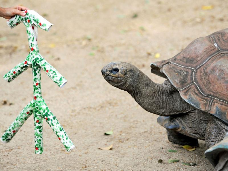 Lance, an Aldabra Tortoise looks at a handmade Christmas tree at Taronga Zoo in Sydney. In the lead up to Christmas a selection of the zoo animals were challenged with Christmas-themed environmental enrichment activities. AFP PHOTO / Greg WOOD