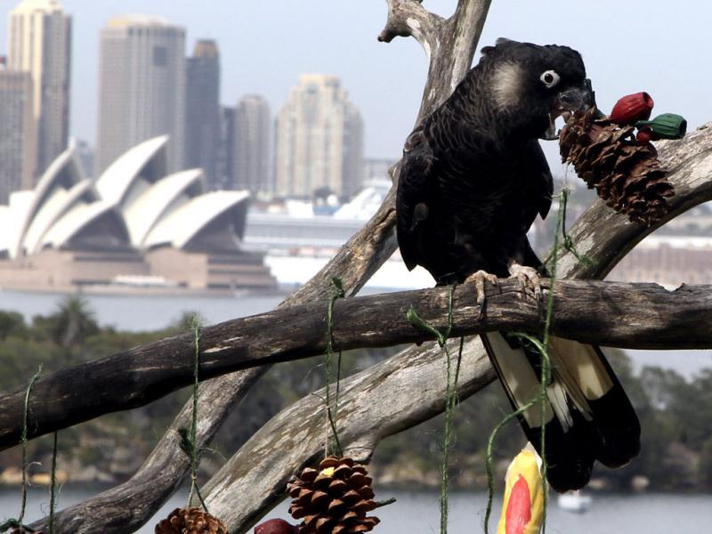 A White Tailed Black Cockatoo feeds on Christmas treats at Taronga Zoo in Sydney, Australia. Some of the zoo resident animals receive some early Christmas-themed Environmental Enrichment activities from food-filled maracas to tasty Christmas Trees. (AP Photo/Rob Griffith)