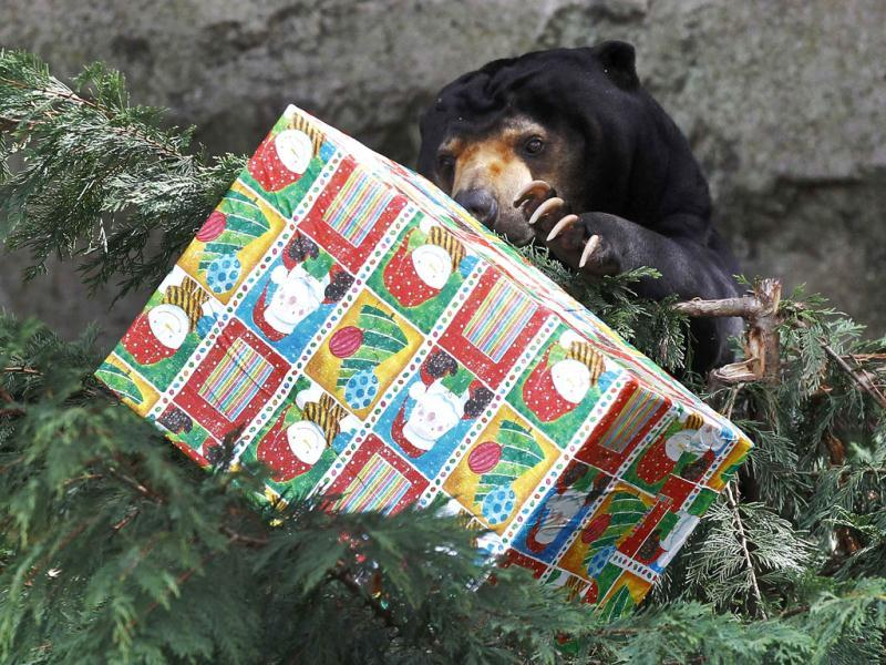 A sun bear holds a food treat, wrapped up as a Christmas present at Taronga Zoo in Sydney. Animals at Taronga Zoo were given food treats as part of Christmas celebrations. REUTERS/Daniel Munoz