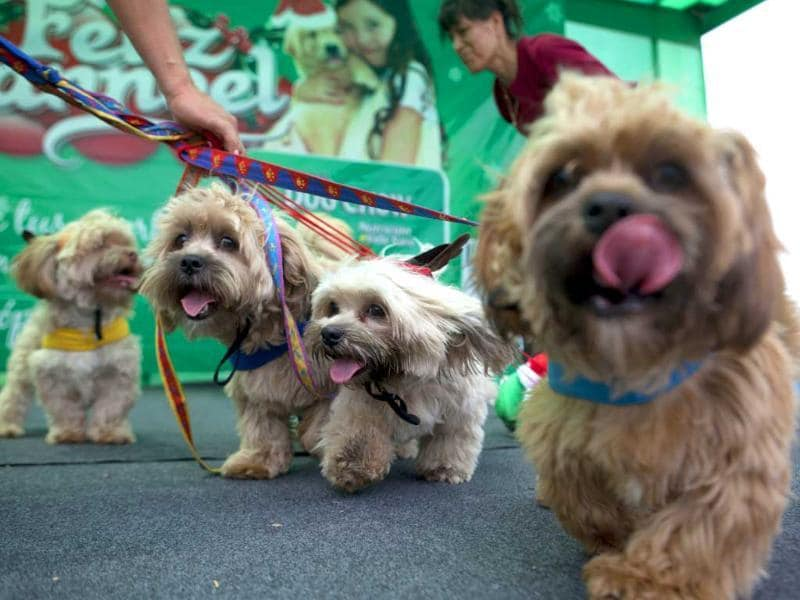 Dogs arrive to attend a Christmas costume contest for dogs in Lima Peru. AP Photo/Martin Mejia