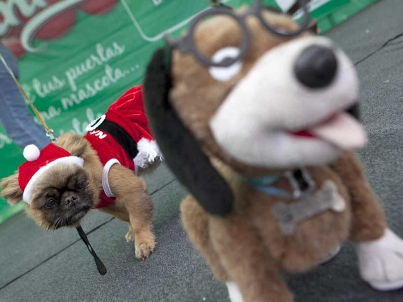 A dog watches a dog doll during a Christmas costumes contest for dogs in Lima Peru. AP Photo/Martin Mejia
