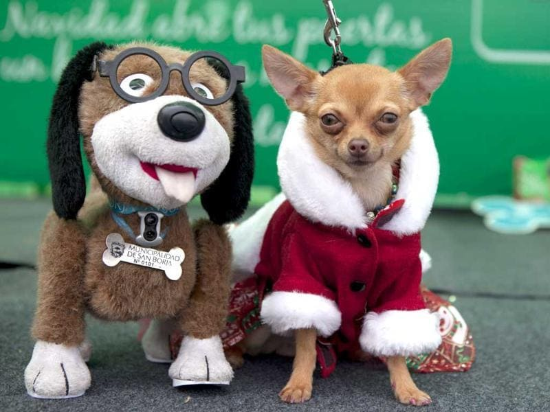 A dog sits next to a dog doll during a Christmas costumes contest for dogs in Lima Peru. AP Photo/Martin Mejia