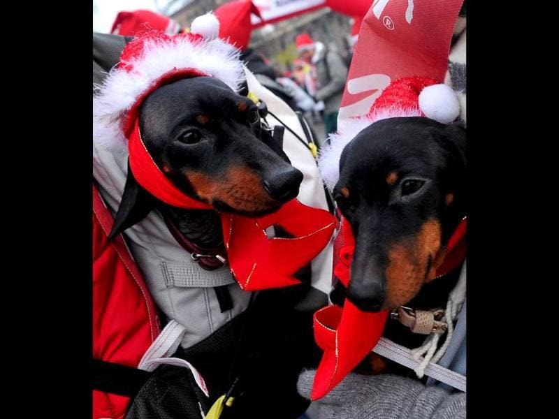 Two dogs wearing Santa Claus hats are carried by people taking part in a Santa Claus themed race in downtown Milan. AFP Photo/Tiziana Fabi