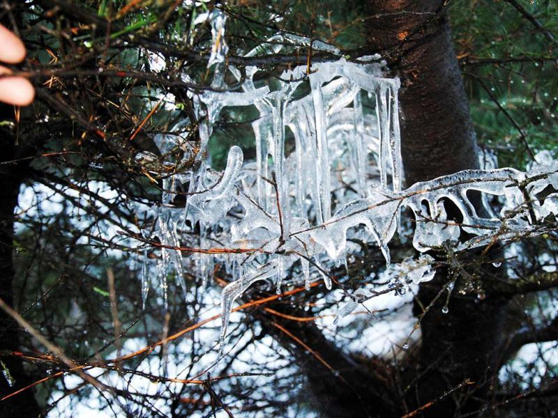 Icicles hang from branches of a tree in Bhaderwah, 200km from Jammu on Friday. UNI Photo