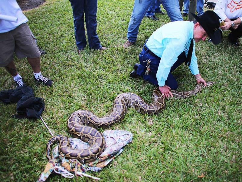 A Burmese python is held by Ron Bergeron at the start of the 2013 Python Challenge in Florida. The serpent-seekers had a much harder time spotting the splotchy, tan pythons in the long green grasses and woody brush of the Everglades. (AFP Photo)