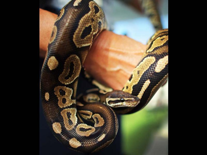 A ball python is seen on display at the start of the 2013 Python Challenge in Davie, Florida. The month long contest to harvest Burmese pythons in the Florida Everglades, features prize of $1,000 for catching the longest snake. (AFP Photo)