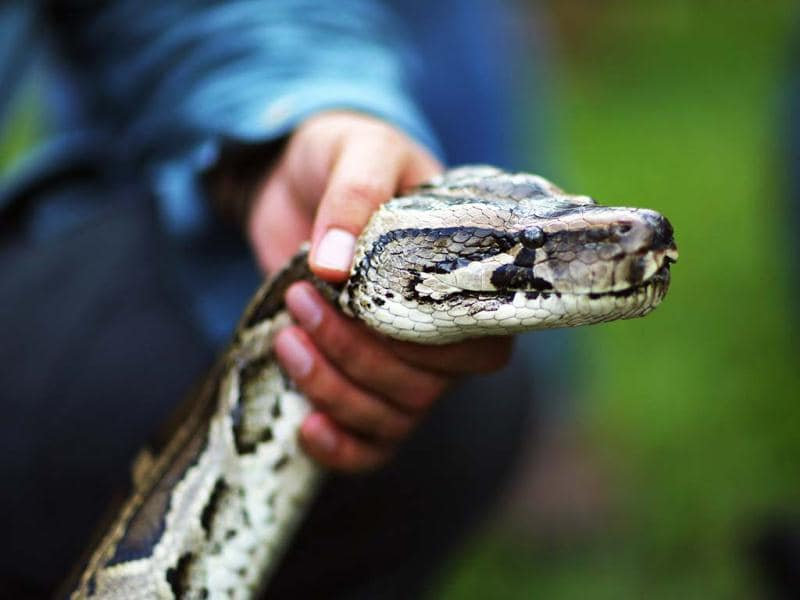 A man holds a Burmese python at the start of 2013 Python Challenge in Florida. The Florida Fish and Wildlife Conservation Commission launched the month long contest to harvest Burmese pythons in the Florida Everglades, a species that is not native to state. (AFP Photo)